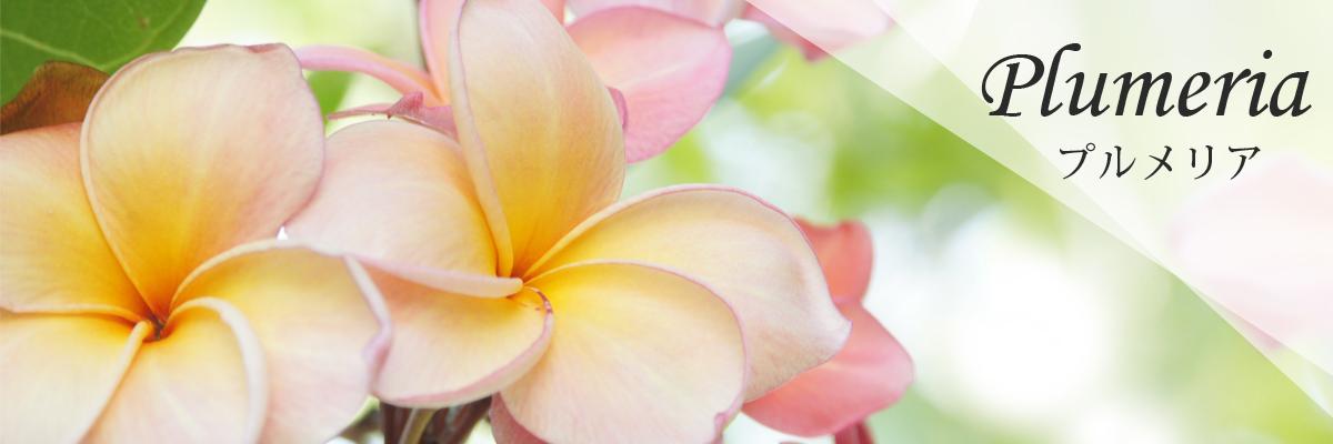 Plumeria プルメリア